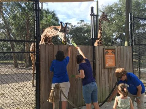 botanical gardens in central florida feed the giraffes picture of central florida zoo