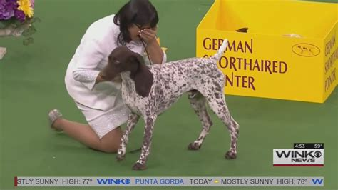 winner of westminster show 18 westminster best in show dogs ranked by cuteness upcomingcarshq