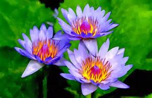 Purple Lotus Flowers Purple Lotus Flowers