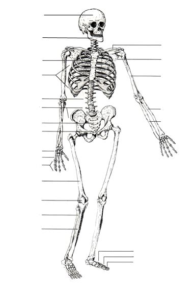 printable label the skeleton axial skeleton labeling