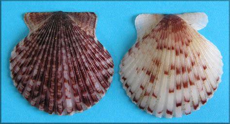 argopecten gibbus linnaeus 1758 atlantic calico scallop