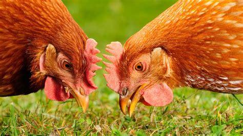 mag een meeple op een tuin kippen houden in de tuin mag dat zomaar