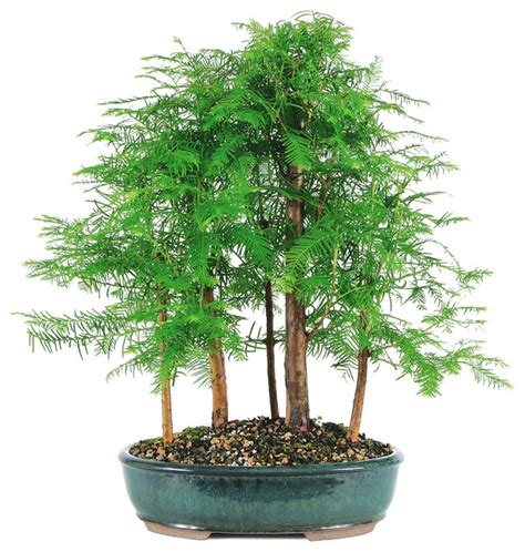 japanese house plants dawn redwood grove bonsai tree asian plants by