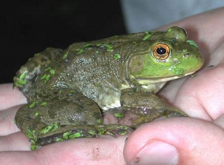How To Catch A Frog In Your Backyard by An Earth Day Guide To Your Backyard Frogs St Louis