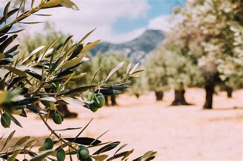 alimenti per combattere il colesterolo le olive fanno bene per combattere il colesterolo olive