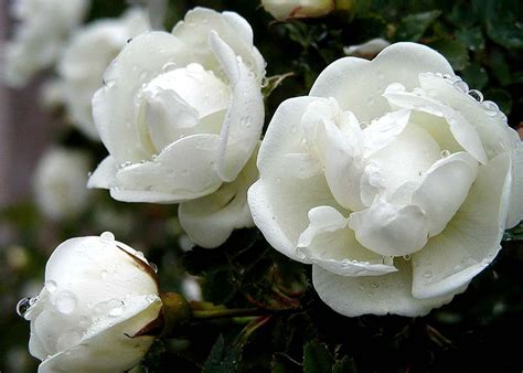 white flower images white rose hd photos flowers wallpapers collections free