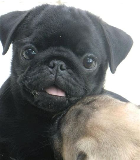 what makes a pug 12 pictures of pugs and the faces they make