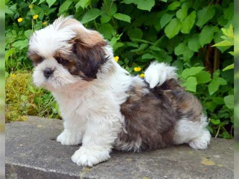 shih tzu for adoption shih tzu puppies for sale shih tzu for sale breeds picture