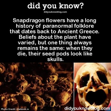 Did K Fed Plant One Last Seed by Snapdragon Flowers A History Of Paranormal