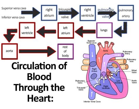 pattern of heart blood flow learn about the circulatory system for kids anatomy