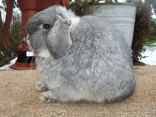 rebeccas rabbitry holland lop color guide  washington state