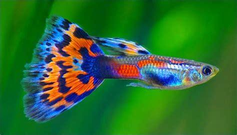 Makanan Ikan Gobi Hias 60 jenis ikan hias air tawar aquarium lengkap dari a z