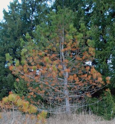 christmas tree turning brown why are my pine trees turning brown msu extension