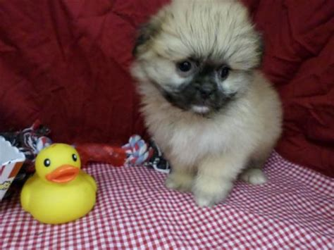 shih tzu pomeranian mix info shiranian puppies models picture