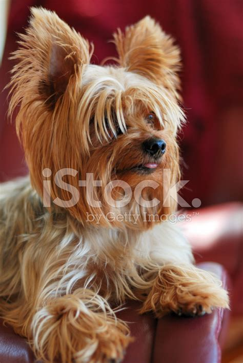 yorkie tongue sticking out yorkie with tongue out stock photos freeimages