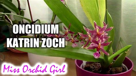 Oncidium katrin zoch a sweet perfumed orchid orchid nature