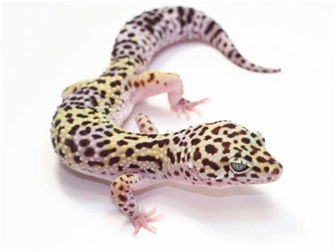 leopard gecko heat l le gecko leopard la jardinerie