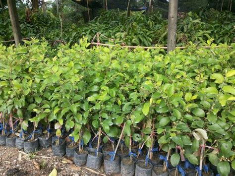 scion plant jujube scions can be grafted onto jujube cultivar plants