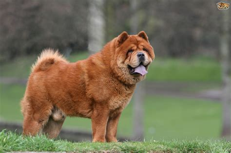 breed facts chow chow breed information buying advice photos and facts pets4homes