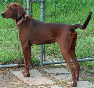 bluetick coonhound hunting training redbone coonhound breed guide learn about the redbone
