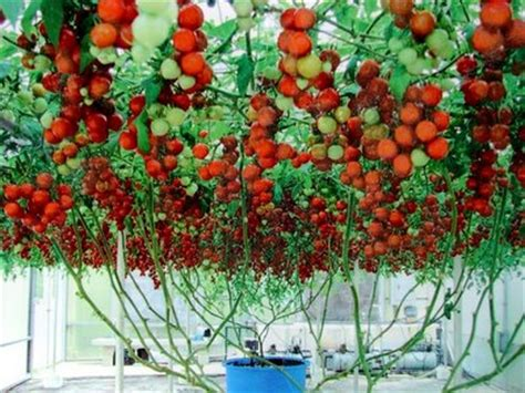 tomato tree vegetable garden for the world italian tree tomato fact