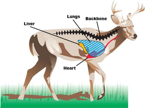 where to shoot a deer diagram how and where to shoot a deer instantly captain