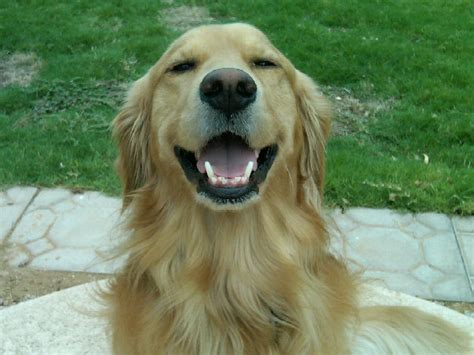 kathy s golden retrievers international golden retriever day i golden retrievers