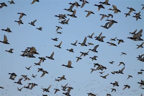 bird migration archives wild about utah