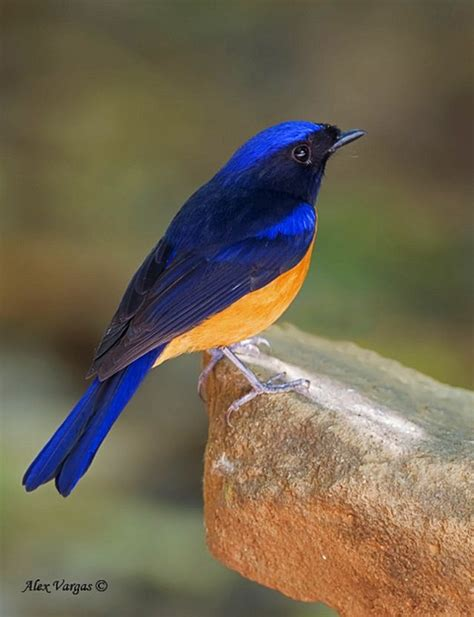 310 best images about birds blue turquoise on pinterest