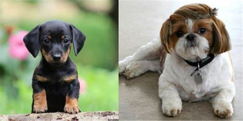 shih tzu and dachshund dachshund news articles and tips on dachshund breed