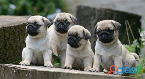 pug puppies for sale in south africa purebred pug puppies clasf
