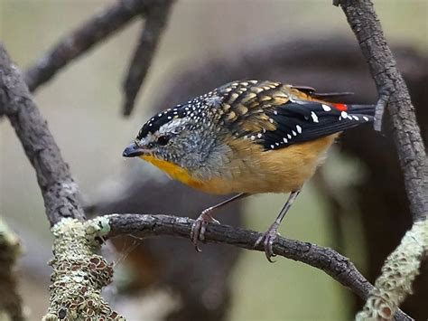 spotted pardalote canberra birds