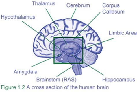 what are the four sections of the large intestine 6 major parts of the brain and how they work how the