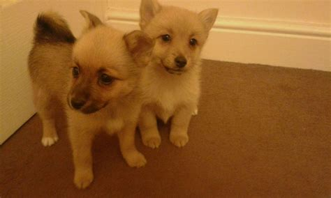 pomeranian x chihuahua pomeranian x chihuahua bolton greater manchester pets4homes
