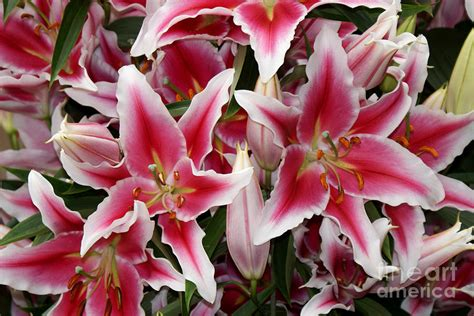 pink and white lilies photograph by erica sauder