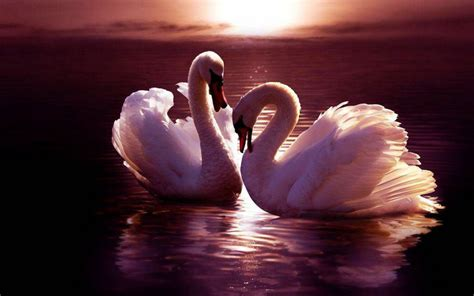 images of animals images swans hd wallpaper and background photos