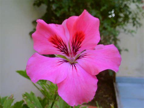 fiore geranio file fiore geranio jpg