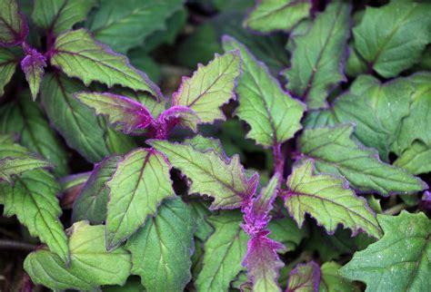growing purple passion houseplants purple passion plant