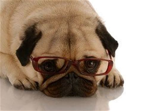 pug studying pug blindness archives the dogington post