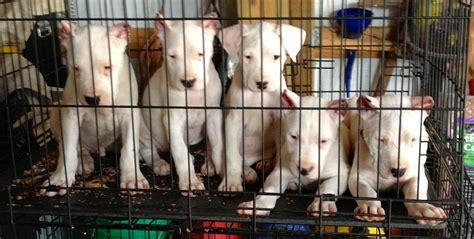 dogo argentino puppies for sale 2016 ridge dogo kennels purebred dogo argentino puppies ridge dogo