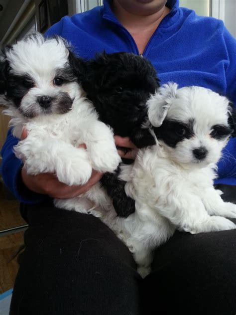 maltipoo puppies for sale in f1 maltipoo puppies for sale bedford bedfordshire pets4homes