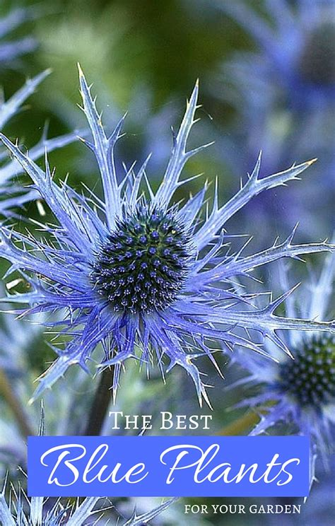 Blue Flowers For Garden Grow True Blue Garden Plants With Blue Flowers Foliage And Fruit Garden Therapy
