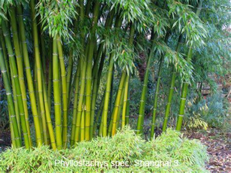 Brise Vue Cloture 7149 phyllostachys shangai 3 page 2 lesbambous fr forum des