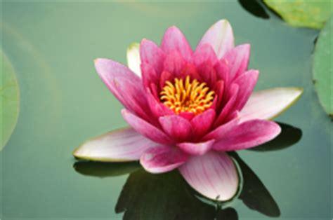 lotus flower significado de flor de loto qu 233 es concepto y definici 243 n