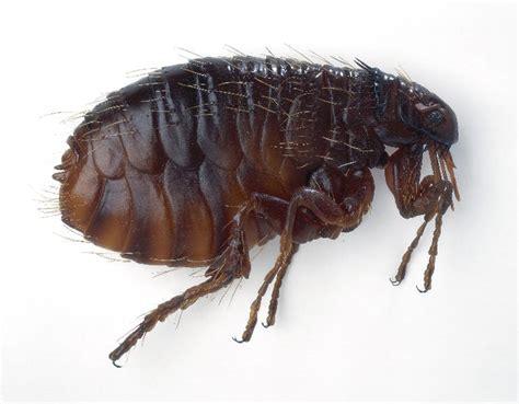 what color are fleas getting rid of fleas i ragdolls
