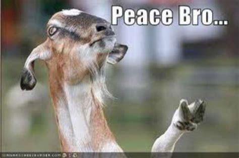 Of Peace Meme - funny goat memes peace bro w630
