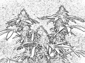 cannabis coloring book free coloring pages of leaf
