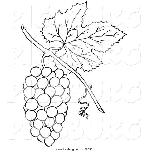 grape leaves coloring pages grape leaf clipart black and white clipartxtras