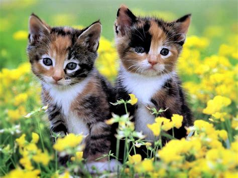beautiful kittens cute kittens wallpapers wallpapers