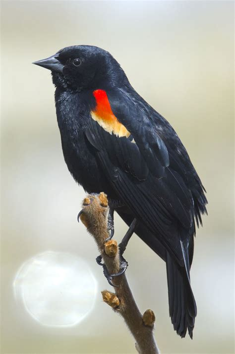 hinterland who s who red winged blackbird